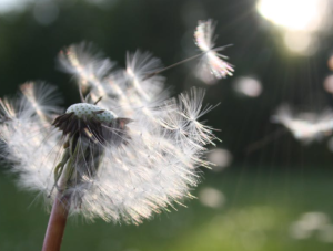 2018-01-14 14_06_04-Free stock photo of blowball, dandelion, dandelion seed