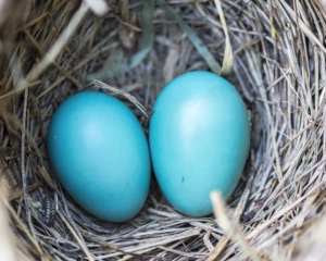 2017-01-25 19_50_09-Selective Focus Photography2 Blue Egg on Nest · Free Stock Photo